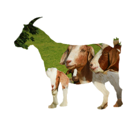 Sladesdown Farm - Goat