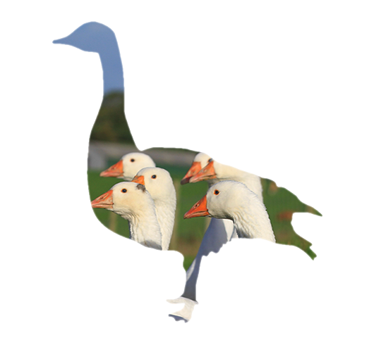 Sladesdown Farm - Geese