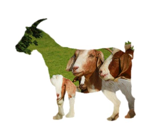 Sladesdown Farm - Goat