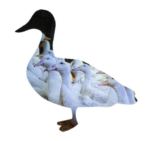 Sladesdown Farm - Duck