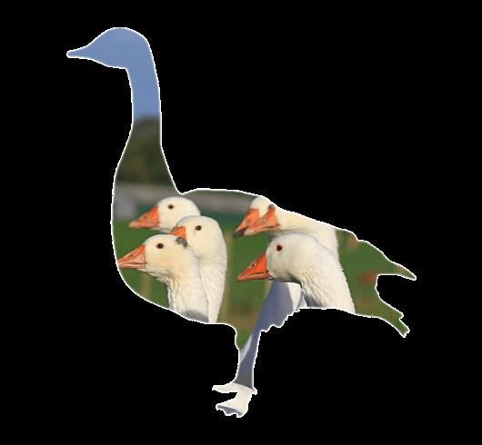 Sladesdown Farm - Goose